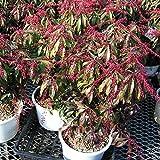 アセビ(馬酔木):カツラ4.5号ポット[赤花で新芽が赤く色づく品種][蕾付]