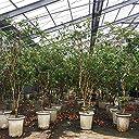 ジャボチカバ苗 (四季なり種)実生苗