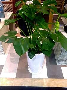 モンステラ 7号 陶器鉢 観葉植物 モダンホワイトポット インテリア