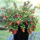 リンゴンベリー9cmポット苗(挿し木苗)/2個セット【果樹 二年生挿し木苗/即出荷】赤い実が美しく、寒さにとても強く簡単に放任栽培可能!品薄の常緑低木果樹!〈性質〉強い。自家結実性あり、1本で実を付けます。リンゴンベリーには驚く程の量のビタミンEが含