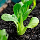 Baby BOK Choy 100+ Seeds Asian Vegetable Garden Slow Bolt Winter Hardy PAK Choi