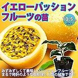 イエローパッションフルーツの苗【果樹苗 10.5cmポット 実生苗/1個】熟すときれいな黄色になるみずみずしく美味しいパ…