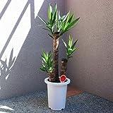 ユッカ (青年の木) 観葉植物 中型 7号プラスチック鉢【品種で選べる観葉植物・リビングやオフィス向きサイズ/1個売り】育てやすい観葉植物の代表のような品種です。別名は「成長・発展の木」で、ユッカのまっすぐに伸びる性質や、新芽が力強く次々と芽吹く様子