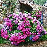 グリーン:珍しい色のアジサイの花の種環境を美しくするホームガーデン盆栽100個/ロット