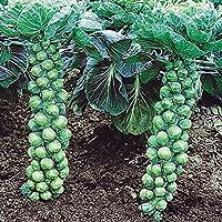 【メール便配送】国華園 野菜たね キャベツ F1芽キャベツ 1袋(0.5ml)【※発送が国華園からの場合のみ正規品です】