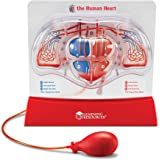 Learning Resources LER3535 Pumping Heart Model,12inx11inx5in,Multi-color
