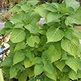SHISO Korean Green 100+ Seeds Perilla Easy Herb Vegetable Garden Beefsteak Plant