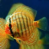 (熱帯魚)レッドロイヤルブルーディスカス(タイ産)(約6cm)<1匹>[生体]