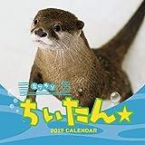 トライエックス カワウソちぃたん☆ 2019年 祝日訂正シール付き カレンダー CL-375 壁掛け 48×24cm カワウソ