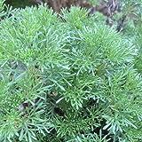 「蚊よらずハーブ(アルテメシア サザンウッド)」【品種で選べるハーブ苗9cmポット/3個セット】オーストラリアでは蚊が嫌がる植物として有名です。細く青みがかったシルバーリーフを肌にこすりつけたり、切り口から出る樹液を使います。虫除けのハーブとして有名