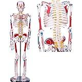 【WETRY】人体骨格模型 1/2人体モデル 筋肉起始/停止色表示型 85CM スタンド付き