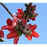 bombax ceiba赤い綿の木の種子!