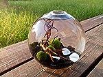 Marimo Terrarium Kit - Footed Glass Vase with 3 Moss Balls Obsidian Gravels Sea Fan Coral Miniature Aquarium Decorative...