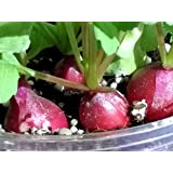ラディッシュ 養液栽培 簡単キット
