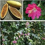 【種子】Passiflora Mollissimaバナナパッションフルーツ・モリッシマ◎大きなハート型の葉が特徴◆10粒…