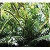 沖縄 - 米原のヤエヤマヤシ群落 HD(1440×1280) 133998
