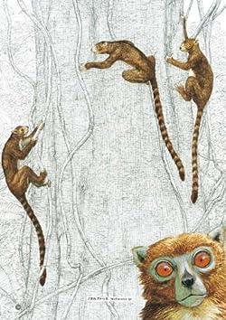 ノタルクトゥス(頭胴長40〜50cm)