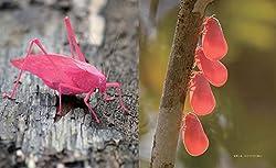 (左)キリギリス科の一種 (右)オオべニハゴロモ